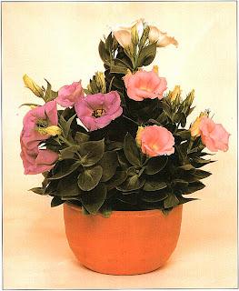 Эустома крупноцветковая, Лизиантус Рассела