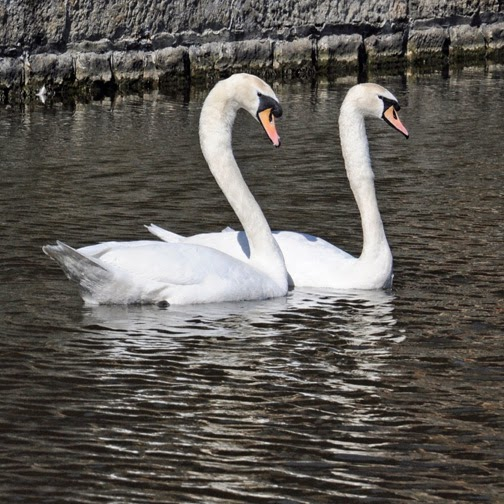 female and male mute swans