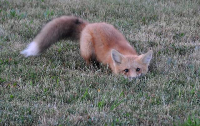 funny animals of the week, fox ready for ambush