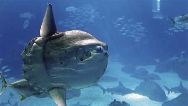سمكة شمس المحيط
