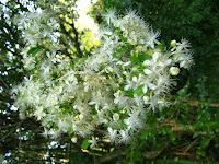 Pitanga tree flower  Uruguay turist