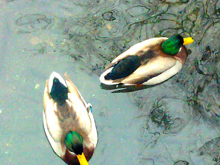 ducks from above