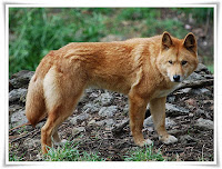 Dingo Animal Pictures