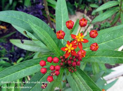 Annieinaustin, white sepals tropical milkweed