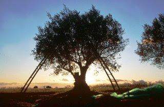Recolecta de las olivas en el Saso. Casa Castro