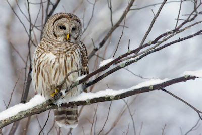 Bho en la nieve - Owl in the Snow - Aves Exticas