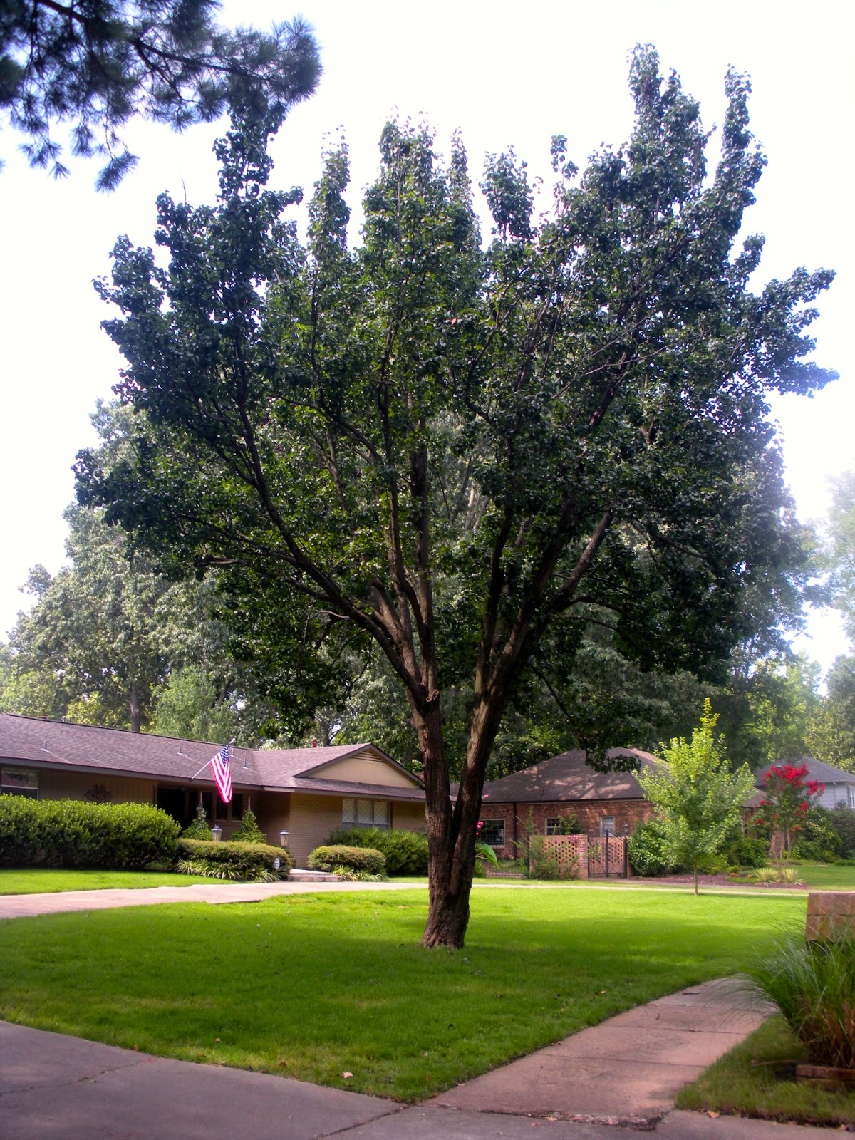 Memphis trees august 2014 Bradford pear