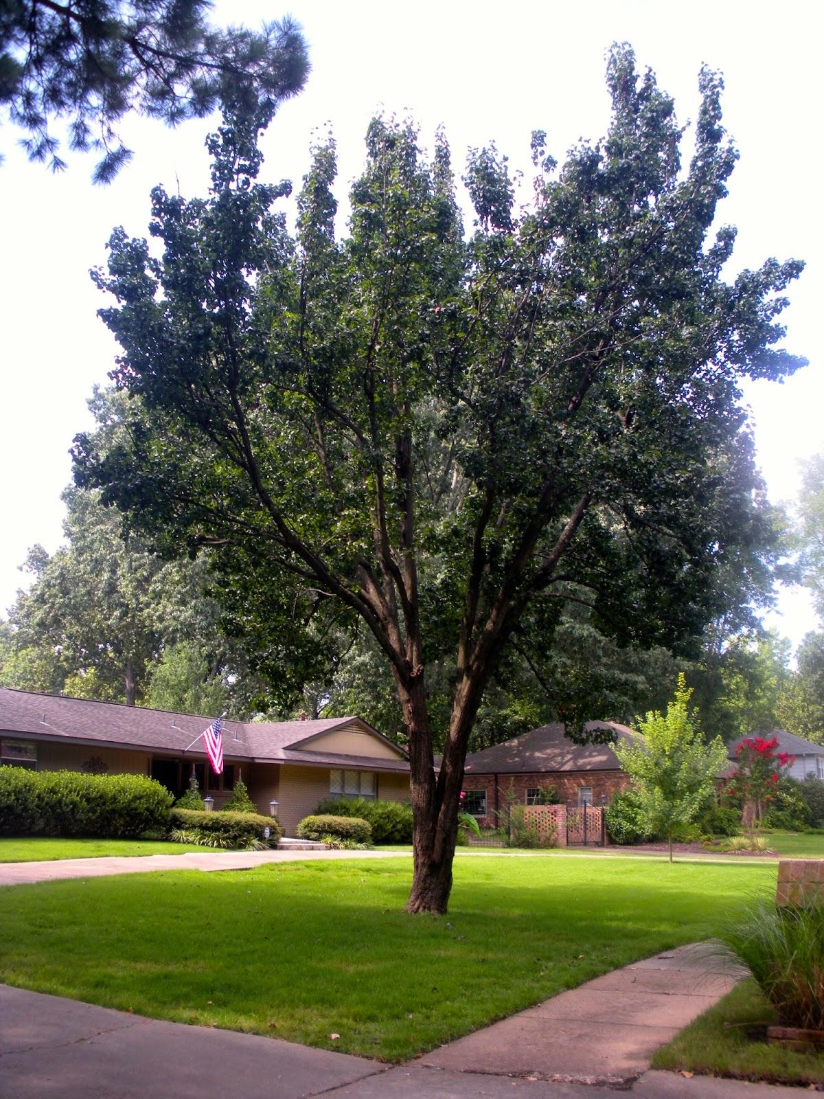 Memphis Trees August 2014: bradford pear