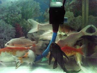 cara memelihara ikan koi bagi pemula,ikan koi di kolam rumah,ikan lele yang benar,membuat aquarium,aquarium,air tawar aquarium,jenis ikan hias aquarium,ikan koki,
