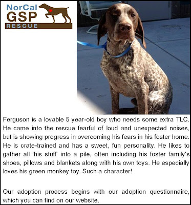 Freckles the Dog NorCal GSP