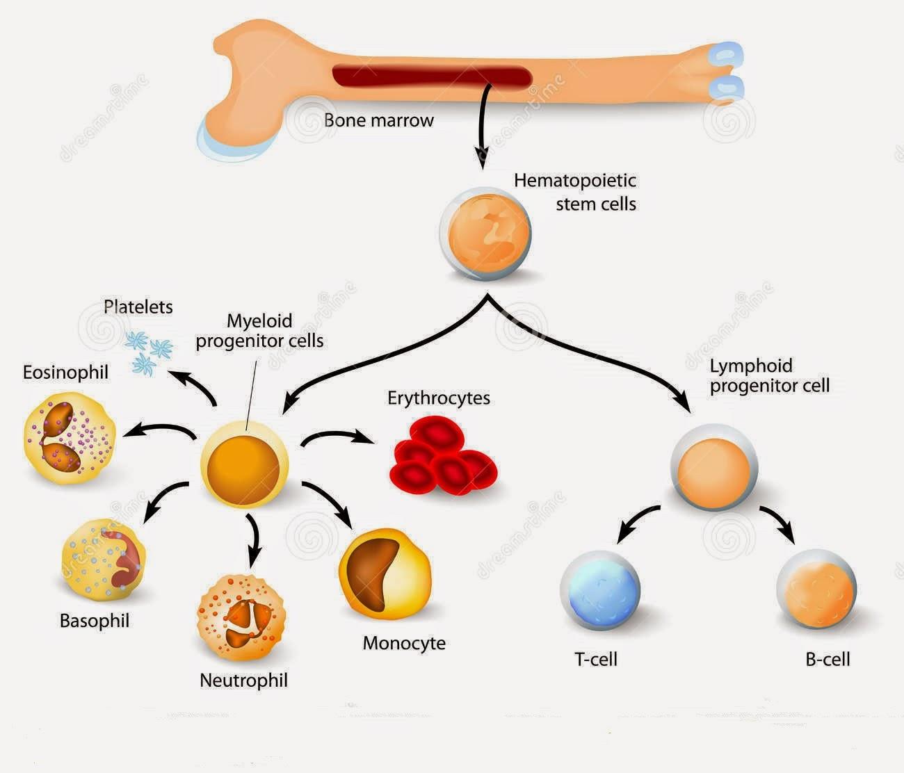 abc anatomía: Funciones del esqueleto humano (II)