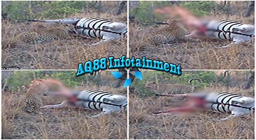 Sepertinya hukum karma juga berlaku bagi seekor binatang ya? Yap, bisa jadi demikian yang dirasakan oleh seekor Leopard yang hidup di penangkaran buatan 'Djuma Private Game Reserve' yang terletak di Afrika Selatan.