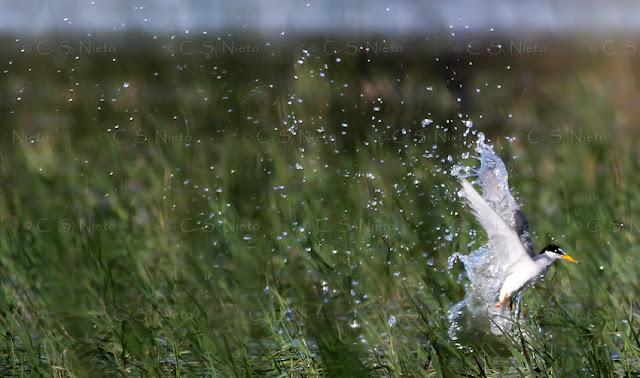 Charrancito saliendo del agua