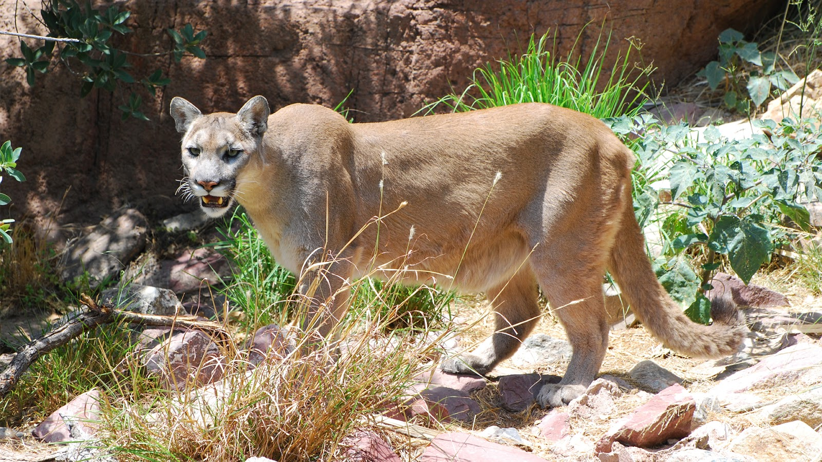 south mountain cougar women A cougar appeared to be stalking two cyclists as they biked over the weekend in the cascade mountains near seattle suddenly, the animal charged, .