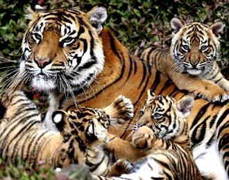 Harimau Sumatra (Fauna Asiatis)