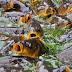 Közép-Tisza: Folytatódik a kormoránok ritkítása