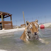 Why this tiger is happy to take a swim in the pool?