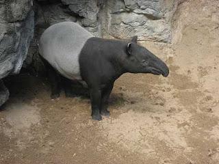 Tapir Malayan haiwan Malaysia yang hampir pupus