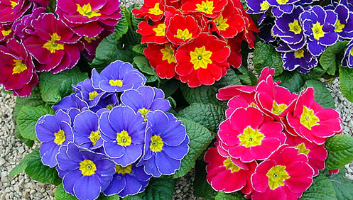 Fiori piante e giardini del mondo primule quando la neve for Piante e fiori