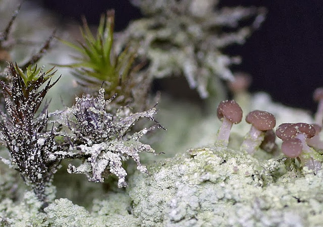 cap lichen macro photo