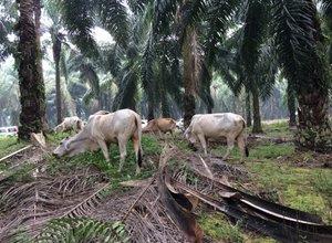 peternakan-di-kelapa-sawit.jpg