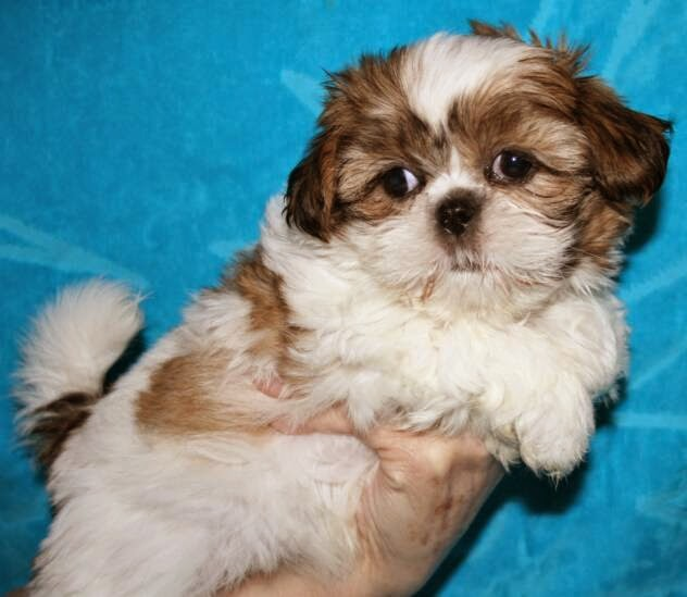Rules of the Jungle: Shi Tzu Puppies
