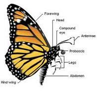 Monarch butterfly body - photo#2
