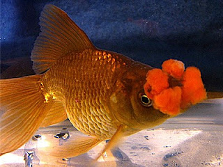 PomPom/Hanafusa Goldfish