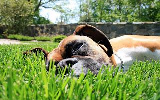 Bull Dog on Ground