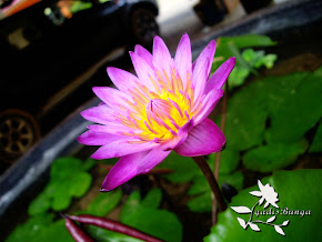Waterlily dari GB
