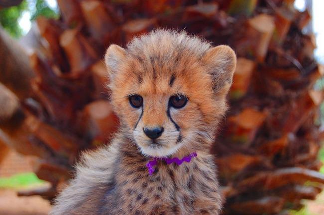 Very cute baby cheetahs cubs - Blue Image Cute Cheetah Cubs