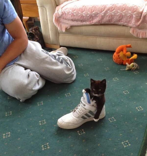 Funny cats - part 79 (35 pics + 10 gifs), kitten inside shoe
