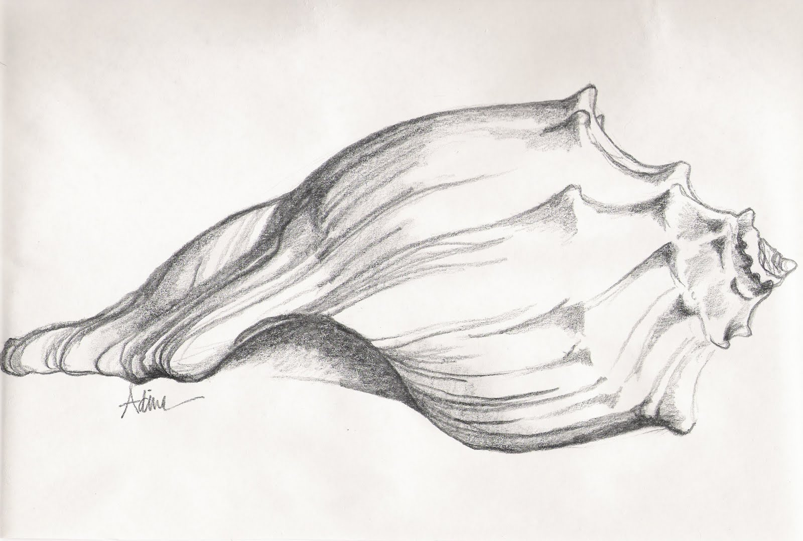 Beach Shell Pencil Drawing
