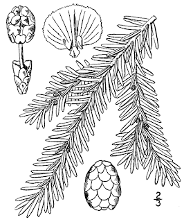 http://en.wikipedia.org/wiki/File:Tsuga_canadensis_drawing.png