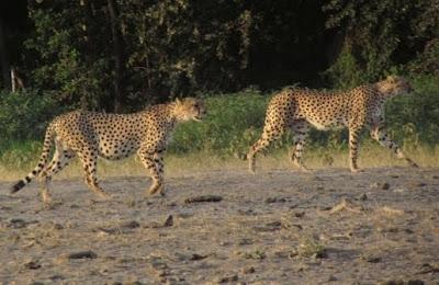 guepardos, guepard, guepardo, animal africa