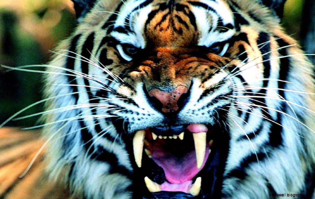 Tiger Wallpaper | This Wallpapers