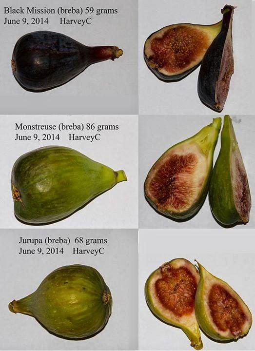 Breba Figs
