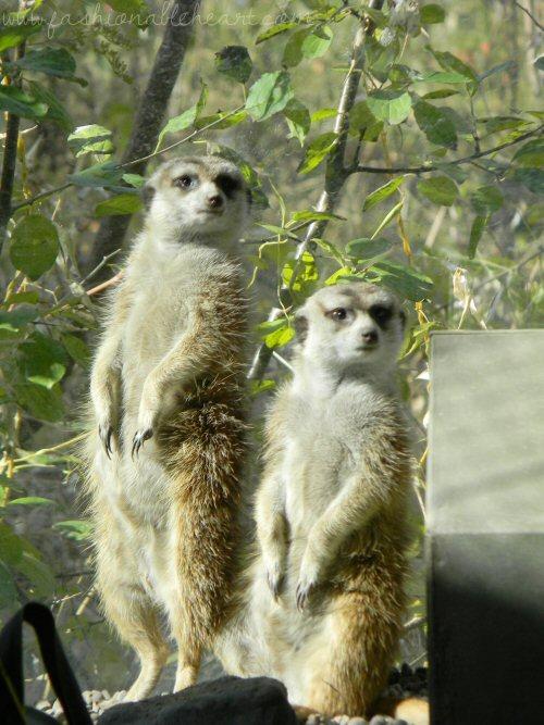 toronto zoo, zoo, animals, canada, meerkats, standing