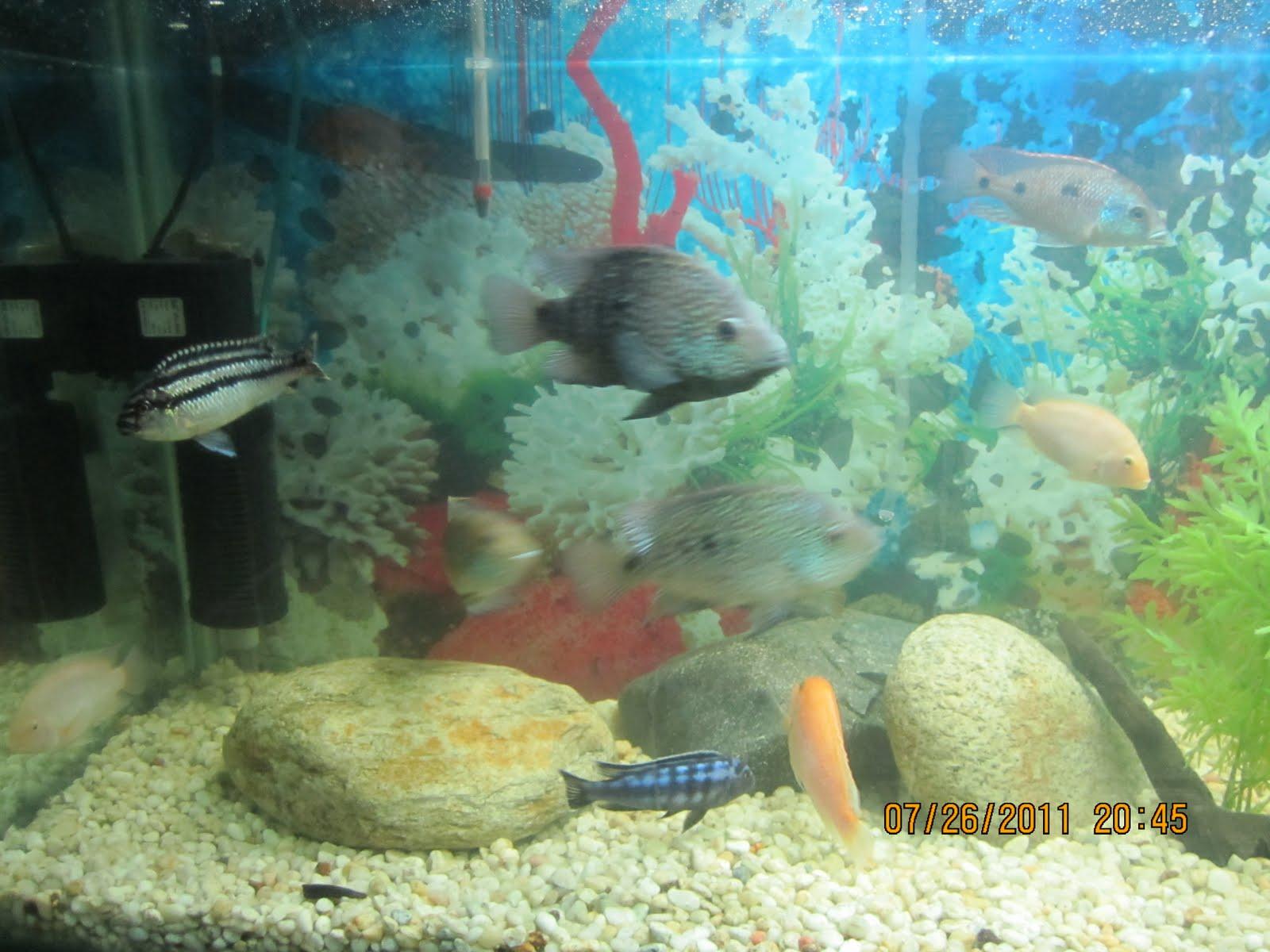 Acuicultura peces ornamentales agosto 2011 for Acuariofilia peces ornamentales