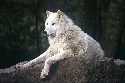 Tundra Soft Top >> Tundra Wolf | The Life of Animals