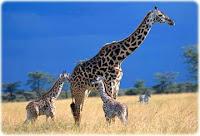 http://3.bp.blogspot.com/-yOr7p0n4pwk/TZwbJb-paQI/AAAAAAAAAKU/EahHCCbyhcM/s1600/giraffe-tall.jpg