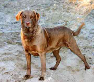 Chesapeake Bay Retriever Dog 2
