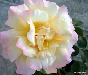 wszystkie prezentowane tu kwiaty mieszkają w naszym ogrodzie ...