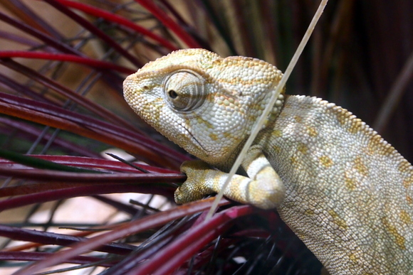 Common chameleon
