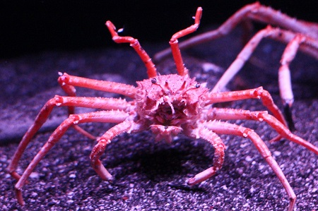 Japanese deepwater carrier crab