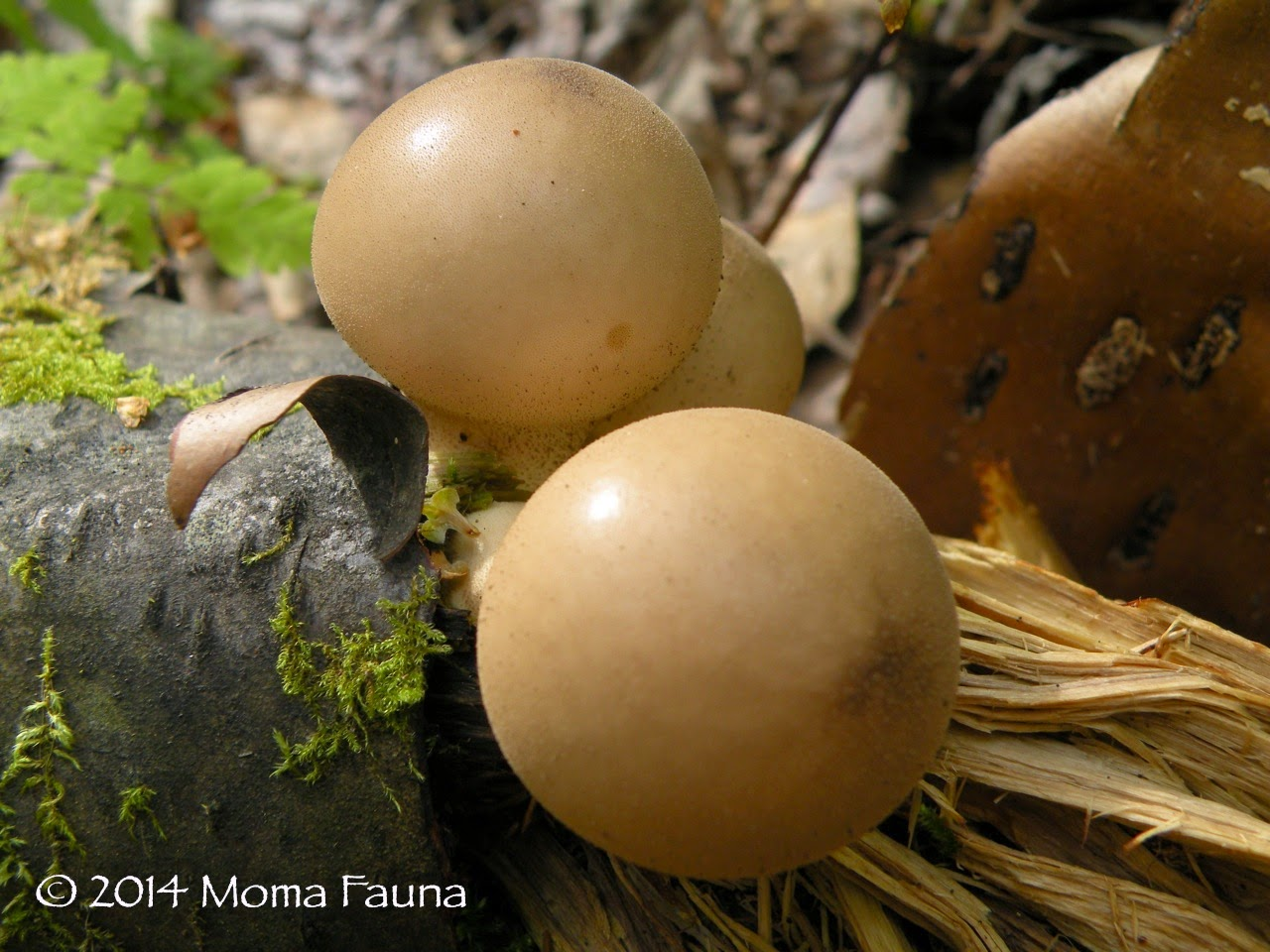 Pear-shaped Puffballs. Lycoperdon pyriforme.
