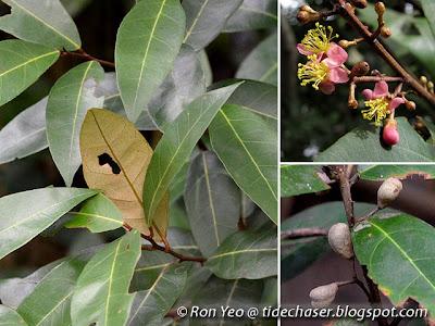 Dungun Air (Brownlowia tersa)
