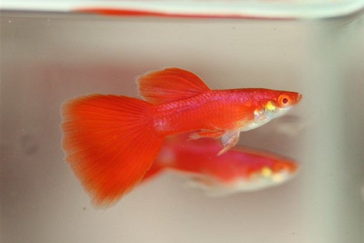 Jual guppy kualitas import jambi indonesia all about for How much does a betta fish cost