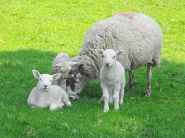 ovelhas e ffamilia