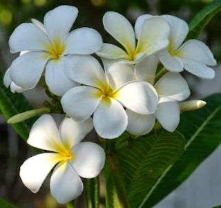 Plumeria obtusa 'Singapore'